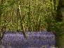 Bluebells at Everdon Stubbs - 3 May 2014