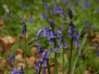 Bluebells at Everdon Stubbs - 3 May 2015