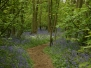 Bluebells at Everdon Stubbs - 10 May 2015
