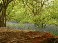 bluebells02