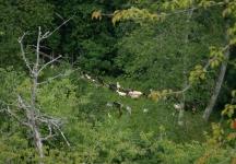 Goats in Montefegatesi