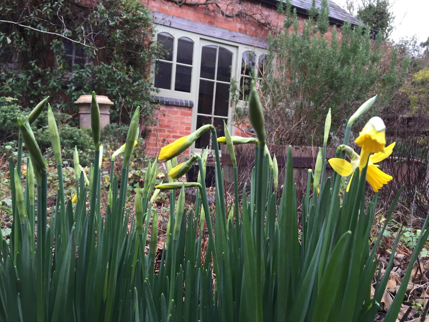 Daffodils at Framington House